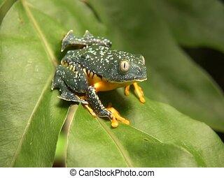 Amazon leaf frog (Cruziohyla craspedopus) - Zoom in to frog,...