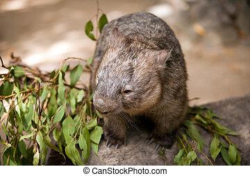 Wombat - Hairy-nosed wombat, Australian marsupial