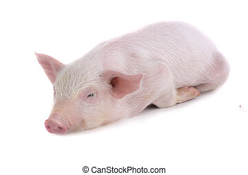 pig sleeps on a white background studio