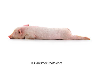 pig sleeps on a white background. studio