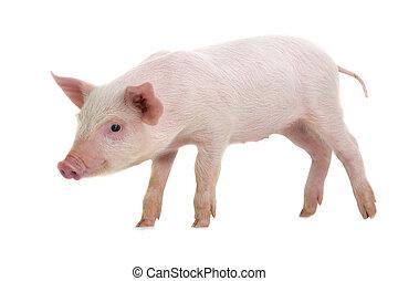 pig, ,