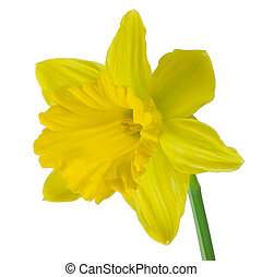 Yellow Daffodil - isolated yellow daffodil on white