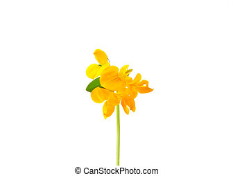 Birds-foot-trefoil Lotus corniculatus