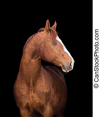 Chestnut horse head on black, close up.