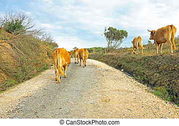 Cows in the countryside from Portugal