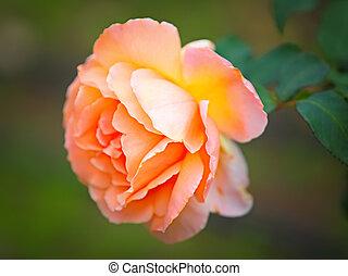 peach rose  - Close up of beautiful peach rose