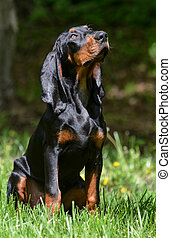 dog outside - black and tan coonhound puppy sitting in the...