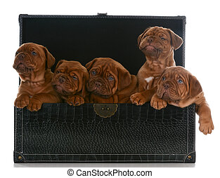 litter of puppies - five week old dogue de bordeaux pups in...