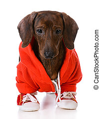 sports hound - dachshund wearing jacket and running shoes...