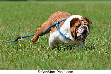 dog running away - dog running - english bulldog running...