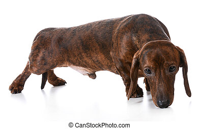 dog sniffing - dachshund sniffing the ground on white...