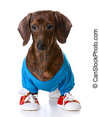sports hound - dachshund wearing shirt and running shoes...