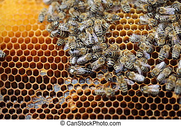 bee queen - Bees inside a beehive with the queen bee in the...