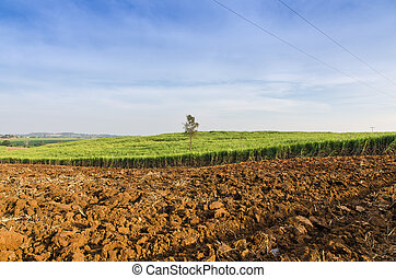 Sugarcane field agriculture tropical farm landscape in...