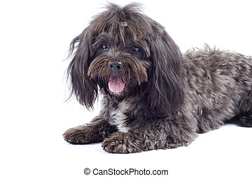 Havanese dog standing on a white background - Havanese dog...