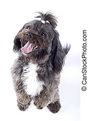 Havanese dog standing on his hind legs isolated on a white...