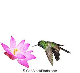 Male Cuban emerald hummingbird (Chlorostilbon ricordii)...