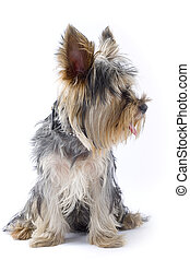 picture of a seated puppy yorkshire terrier looking to a side