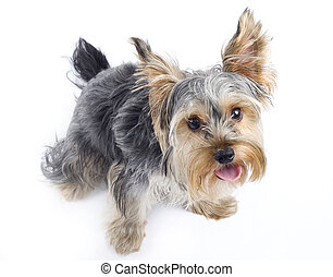 picture of a curious Yorkshire terrier over white