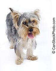 picture of a Yorkshire terrier puppy over white