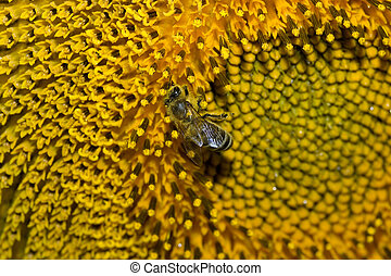 macro shot of a working bee on a sunflower