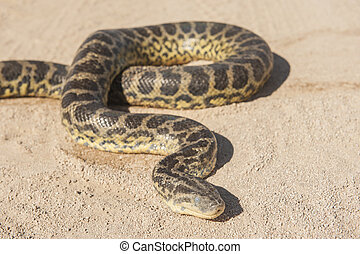 Desert rock python on sandy ground - Closeup of desert rock...