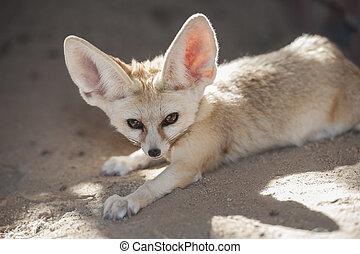 Fennec desert fox lying down - Closeup of desert fennec fox...