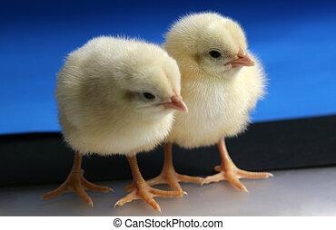 chicken - baby chicken