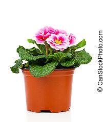hermoso, rosa, primula, en, maceta, aislado, en, blanco,