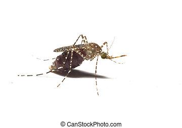 moustique,