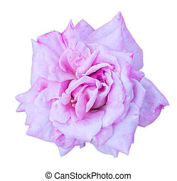purple rose on the white background
