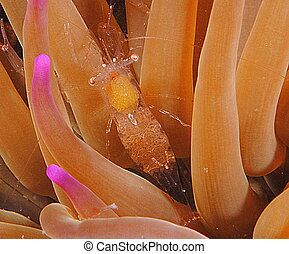 small shrimp - shrimp in sea anemone photographed at night