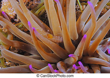 shrimp in sea anemone photographed at night
