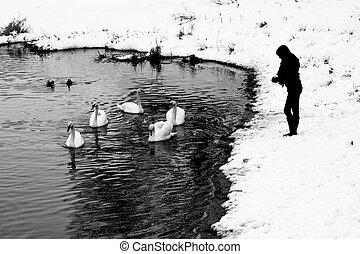 Woman feeding swans in winter