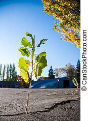 young poplar tree growing through crack in asphalt,survival concept.