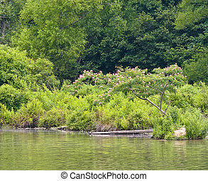 Mimosa Tree on Lake Shore - A blooming mimosa tree on the...