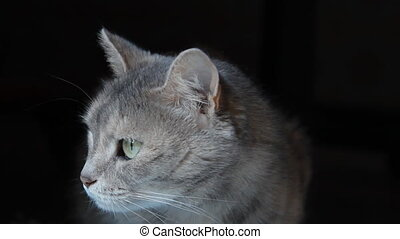 Grey cat on the black background - Fluffy cat look at the...
