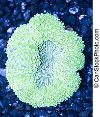 Exotic reef matellic-green color Symphyllia Brain Coral