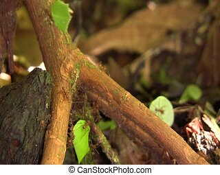 Leaf cutter ants (Atta sp.) - In the Ecuadorian Amazon