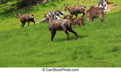 Herd of chamois animals on the past - Herd of chamois...