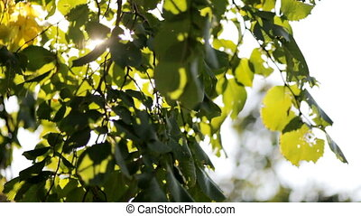 Nice sun light trhoug the leaves - Fresh spring green leaves...