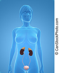 female urinary system - 3d rendered illustration of a female...