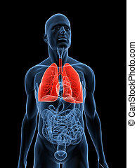 lung - 3d rendered illustration of a transparent body with...