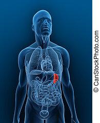 highlighted spleen