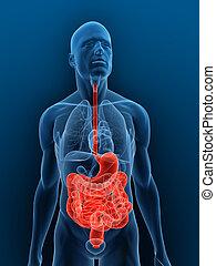 destacado, digestivo, Sistema