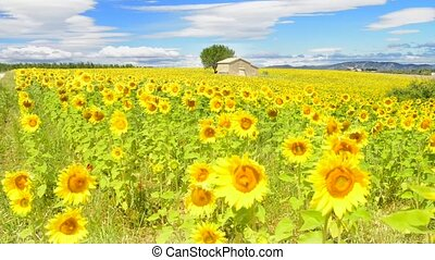 sunflower field over cloudy blue sk