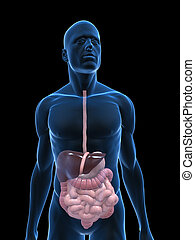 digestive system - 3d rendered illustration of a body shape...