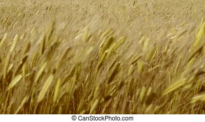 Wheat field - backdrop of ripening ears of yellow wheat...