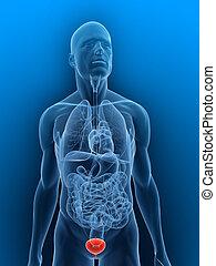 bladder - 3d rendered illustration of a transparent body...