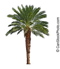 Palm tree isolated on white background Canary date palm tree...
